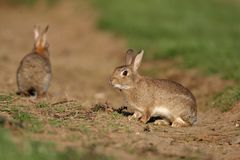 Rabbit, Oryctolagus cuniculus Royalty Free Stock Image