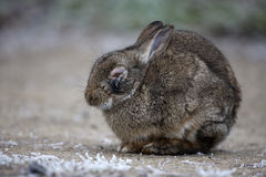 Rabbit, Oryctolagus cuniculus, Royalty Free Stock Image