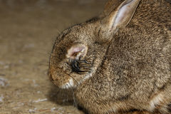 Rabbit, Oryctolagus cuniculus, Royalty Free Stock Photo