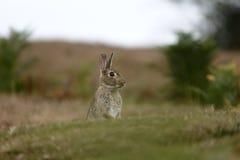 Rabbit, Oryctolagus cuniculus Royalty Free Stock Photos