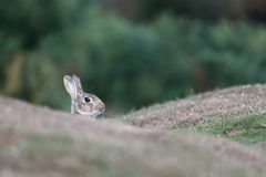Rabbit, Oryctolagus cuniculus Stock Image
