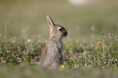 Rabbit, Oryctolagus cuniculus Royalty Free Stock Photo