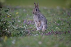 Rabbit, Oryctolagus cuniculus Royalty Free Stock Photos