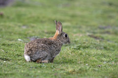 Rabbit, Oryctolagus cuniculus Stock Photo