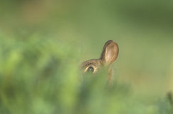 Rabbit, Oryctolagus cuniculus Royalty Free Stock Photo
