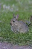 Rabbit, Oryctolagus cuniculus Royalty Free Stock Images