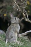 Rabbit, Oryctolagus cuniculus Stock Photography