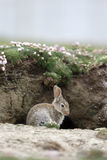 Rabbit, Oryctolagus cuniculus Stock Images