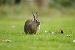 Rabbit, Oryctolagus cuniculus Royalty Free Stock Photography