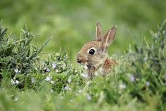 Rabbit, Oryctolagus cuniculus Stock Photos