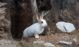 Rabbit. Out of tree roots Stock Photos