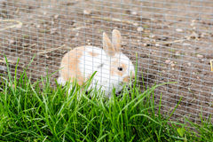 Rabbit outdoors in enclosure Stock Photography