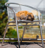 Rabbit outside on a chair. Long eared rabbit outside on a chair in the sunn Stock Image