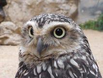 Rabbit owl. Beautiful eyes of rabbit owl Stock Images