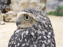 Rabbit owl. Beautiful profile of rabbit owl Stock Images
