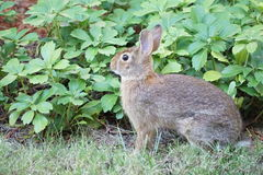 Rabbit with pachysandra. Brown rabbit sits alert in a garden framed by green pachysandra plants Stock Photo