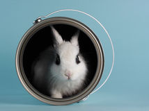 Rabbit in a paint bucket Stock Photography