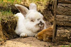 Rabbit pair Royalty Free Stock Images