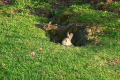 Rabbit In Park. A baby rabbit on some parkland Stock Photography
