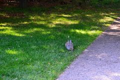 Rabbit on the path at Alberston`s Park Boise Idaho Royalty Free Stock Photography