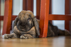 Rabbit on path under chairs. Long eared rabbit under chairs Royalty Free Stock Image