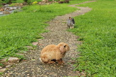 Rabbit on the pathway Royalty Free Stock Image