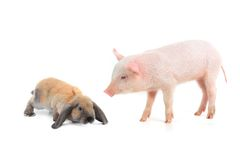 Rabbit and pig Royalty Free Stock Image