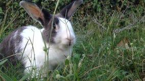Rabbit playing around green grass FullHd 1080P