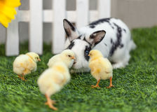 Rabbit playing with chickens in the garden. Black and white rabbit playing with little chicks in the garden on the green grass near a white fence stock images