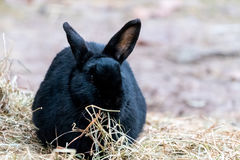 Rabbit playing and hopping around in straw Stock Image