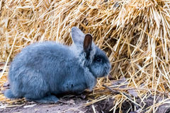 Rabbit playing and hopping around in straw Royalty Free Stock Photo