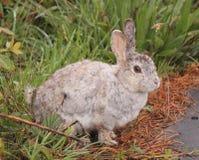 Rabbit pose Royalty Free Stock Photos