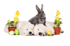 Rabbit posing with a golden retriever puppies for easter Stock Photography