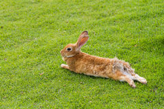 Rabbit prostrates in garden Stock Photo