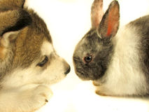 Rabbit and puppy. Puppy Siberian husky and undersized rabbit on white Royalty Free Stock Photos