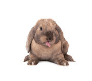 Rabbit puts out one's tongue. stock photo