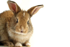 Rabbit with questioning face Royalty Free Stock Image