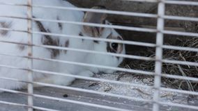 Rabbit in the rabbit hutch eating cabbage and hay.  stock video