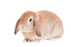 Rabbit Ram breed, red color Stock Images