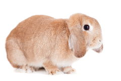 Rabbit Ram breed, red color Royalty Free Stock Photography