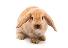 Rabbit Ram breed, red color Royalty Free Stock Images