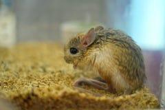 Rabbit rat Stock Photos