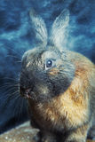 Rabbit red brown color Stock Images