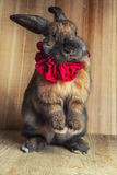 Rabbit red brown color Stock Photos