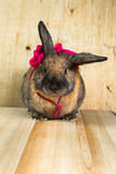 Rabbit red brown color Royalty Free Stock Image