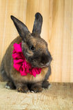 Rabbit red brown color Royalty Free Stock Images