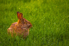Rabbit relaxing in the grass Royalty Free Stock Photography