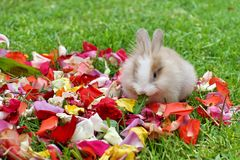 Rabbit in rose petals. Baby bunny on rose petals in the grass in Ecuador stock photo