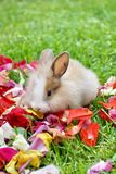 Rabbit in rose petals. Baby bunny on rose petals in the grass in Ecuador royalty free stock image