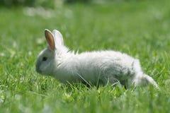 Rabbit running Royalty Free Stock Photos